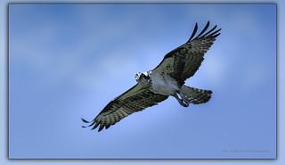 Osprey / Balbuzard pêcheur / Pandion haliaetus