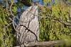 A bird? No no, i am a branch (Luke6876) Tags: tawnyfrogmouth frogmouth bird animal wildlife australianwildlife