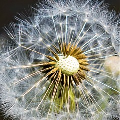 Dandelion clock (A tramp in the hills) Tags: dandelion seeds clock