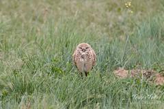 Sleepy-eyed Burrowing Owl