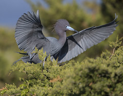 Little Blue Heron (Mawrter) Tags: littleblueheron heron landing tree blue bird avian nature wild wildlife morning canon nj newjersey wing wings lbhe specanimal