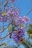 Jacaranda tree (foxgold) Tags: trees spain puertodelacruz tenerife natureenvironment canaryislands europe places jacaranda canarias es