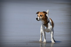 Beach Boy (c.marney) Tags: jack russell terrier