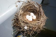 Black Phoebe Nest with Eggs