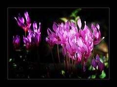 Il favoloso mondo di Antelie (11) (Jambo Jambo) Tags: macro ciclaminoselvatico sowbread cyclamen fiori flowers sonydscrx10m4 jambojambo