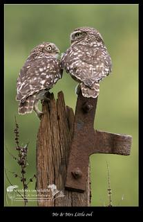 Mr&Mrs little owl