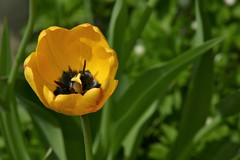 and a yellow tulip (EllaH52) Tags: spring flower tulip yellow green nature garden macro bokeh