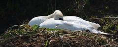 Napping on the nest (simon edge) Tags: telephoto nikon d5100 55300mm chesterfieldcanal birds swan nest