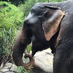 Wild Elephant Eating Bamboo in Thailand thumbnail
