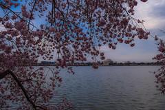 Cherry Blossoms + Jefferson Memorial (laurenspies) Tags: tidalbasin washingtondc dc usa northamerica eastcoast midatlantic washington districtofcolumbia unitedstates us jeffersonmemorial cherryblossoms