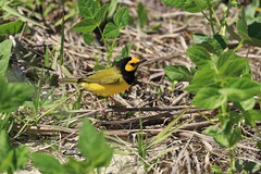 Hooded Warbler (Zach Hawn) Tags: nationalparkservice westshipisland gulfislandsnationalseashore mississippi wildlife preserve naturalist nature gulfcoast gulfofmexico nps southeast barrierisland vacation travel