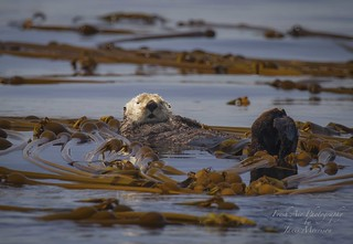 Sea Otter (Enhydra lutris) 'Ollie' the Race Rocks sea otter. Just chilling in a bull kelp bed catching some rays. What a life!