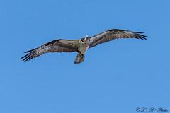 Pandion haliaetus in flight (PerfumeG2011 (on and off )) Tags: pandionhaliaetus nature birds ontario osprey 2018 nest birdsofprey ontariocanada canada
