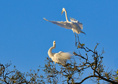 Greetings (dngovoni) Tags: action background bird egret flight florida greategret staugustine wildlife
