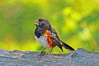 Spotted Towhee 18-0505-4390