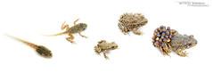 Stades de croissance chez l'Alyte accoucheur (Matthieu Berroneau) Tags: sony alpha macro nature france herpéto ff 24x36 full frame a7ii 7ii 7mk2 sonyilce7m2 90 28 herping herpeto trip amphibia amphibian amphibien tailed amphibians field herp varliagyviai anoura anoure toad alyte accoucheur anura taillless anuro common midwife alytes obstetricans sapo partero común tailless pyrénées pyrenees txantxiku arrunta commonmidwifetoad alytesobstetricans alyteaccoucheur alytesobstetricansobstetricans sonyalpha7ii white fondblanc blanc highkey whitebackground high key fond sel90m28g textbook fondo blanco fondoblanco stage stade tadpole têtard larve larva