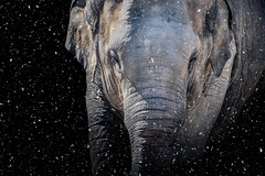 meets hannibal (DaveGassmann) Tags: elefant schnee black schwarz animal tiere photoshop elephant snow white ngc ng olympus penf pen