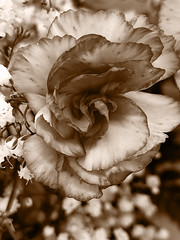 Sepia Elegance (Scorpiol13) Tags: artisticexpression photoart mobileartistry lines curves linesandcurves dramatic mobiography iphoneography layers textured fragility ruffles feminine elegant bloom cameraapp sepia monochrome delicate flower