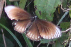 Papilio clytia clytia (Common Mime) f. onpape (GeeC) Tags: animalia arthropoda butterfliesmoths cambodia commonmime insecta kohkongprovince lepidoptera nature papilio papilioclytiaclytia papilionidae papilionoidea tatai truebutterflies