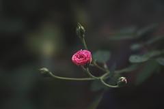 2018-04-19 05.20.37 5 (Phạm Lê Minh Mẫn) Tags: sonya7ii sonya7m2 100mmf28stf 100mmf28 100mmf28stfgm rose rosa hoa flower fleur nature beautiful macro closeup sony