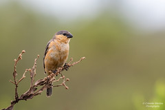 Tawny-bellied Seedeater (Cristofer Martins) Tags: nature wildlife birds bird birdwatching brazilianbirds tawnybelliedseedeater sporophilahypoxantha caboclinhodebarrigavermelha