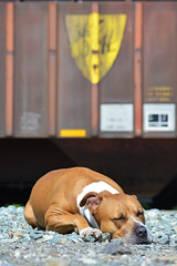 Muttdog naptime (CN Southwell) Tags: erie american bulldog pit bull pitbull pibble dog sleeping