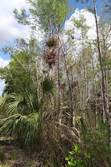 Everglades National Park, Florida (lotosleo) Tags: evergladesnationalpark florida fl nationalpark everglades swamp marsh nature plant spring landscape tree reflection эверглейдс флорида bromeliads mangroveforest airplants tillandsia forest outdoor