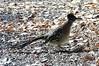 Greater Roadrunner (Patricia Henschen) Tags: greaterroadrunner abqbiopark abq newmexico albuquerque botanicgarden botanic garden bird roadrunner greater park