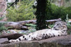 Snow leopard (Cloudtail the Snow Leopard) Tags: schneeleopard tier animal mammal säugetier katze cat feline irbis snow leopard big gros raub beutegreifer panthera uncia snep zoo amneville