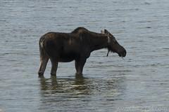 "Moose at Schwabacher's Landing • <a style=""font-size:0.8em;"" href=""http://www.flickr.com/photos/63501323@N07/41685653422/"" target=""_blank"">View on Flickr</a>"