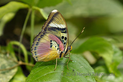 Euphaedra hebes (Hiro Takenouchi) Tags: euphaedra limenitidinae nymphalidae nymphalid insect africa ghana wildlife butterflies butterfly schmetterling papillon
