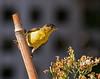 Lesser Goldfinch_6 (SamOphoto2011) Tags: canon california lajolla birds 7dmarkii 100400lmarkii lessergoldfinch carduelispsaltria