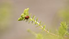 Prendre de la distance * (Titole) Tags: coccinelle sedum red behind ladybug ladybird titole nicolefaton friendlychallenges
