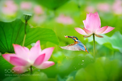 ~ Kingfisher Catch Fish ~ (KevinBJensen) Tags: nectar tropical delicate floral blooming botanical shrub exotic garden petal bud taiwan nature plant flying fly hungry droplet fish spread wings bloom flower lotus aquatic plants single rapidly birdwatching macro animal wildlife 鳥類 翡翠科