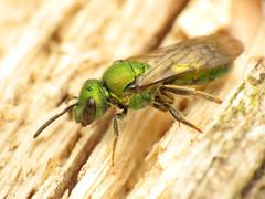 Green Sweatbee (treegrow) Tags: rockcreekpark washingtondc nature lifeonearth raynoxdcr250 arthropoda insect hymenoptera halictidae augochlorapura taxonomy:binomial=augochlorapura