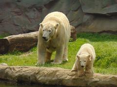 IJsberen Lara & Nanook. (Loekje19) Tags: ijsberen