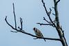 20180429 162719DSC_2212.jpg (photowehrli) Tags: oiseau chardonneret bird vogel