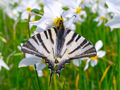 (Alin B.) Tags: alinbrotea nature spring april may flower butterfly narcissus scent scarceswallowtail