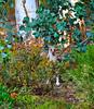 Hidden Roo (Steve4343) Tags: steve4343 hidden roo kangaroo canberra australia red green orange trees forest woods greenery grass