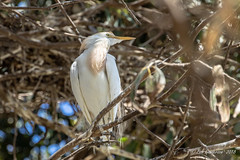 Cattle Egret (Bob Gunderson) Tags: california northbay northerncalifornia sonomacounry west9thstreetrookery egrets cattleegret bubulcusibis