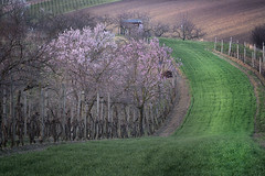 Spring Fields and Blossoms (Steven Olmstead) Tags: green cultivatedland farmland rural moravia spring field blossoms