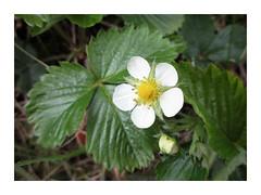 Barren Strawberry (Julie (thanks for 9 million views)) Tags: green hggt flower wildflower ireland irish 2018onephotoeachday 100flowers2018 flora native beautifulnature barrenstrawberry potentillasterilis
