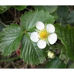 Barren Strawberry thumbnail