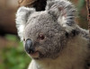 koala duisburg BB2A4042 (j.a.kok) Tags: koala australie australia animal buideldier mammal zoogdier dier