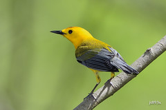 Prothonotary Warbler (jt893x) Tags: 150600mm bird d500 jt893x nikon nikond500 prothonotarywarbler protonotariacitrea sigma sigma150600mmf563dgoshsms songbird warbler coth thesunshinegroup ngc coth5 sunrays5 npc