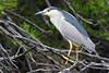 Red Eye Flight (NaturalLight) Tags: blackcrownednightheron nightheron heron red eye chisholmcreekpark wichita kansas