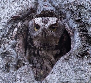 Maman Petit Duc Maculé - Eastern Screech-Owl
