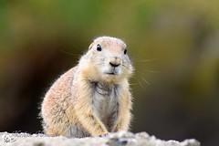 Prairiehondje (Nicolette Vermeulen) Tags: dier blijdorp dierentuin zoo prairiehondje zoogdier natuur nature