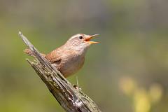 Wren Singing on Old Fence Post (www.andystuthridgenatureimages.co.uk) Tags: