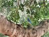 IMG_8012-copy (Claudio Vázquez @ cvphotoart) Tags: california losangeles bird westernbluebird sialiamexicana